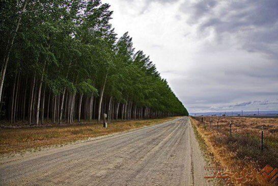 مزارع عظیم چوب در آمریکا