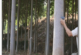 کشت درخت پالونیا و زراعت چوب