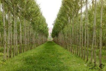اراضی ملی مختص زراعت چوب در آذربایجان غربی توسعه می یابد